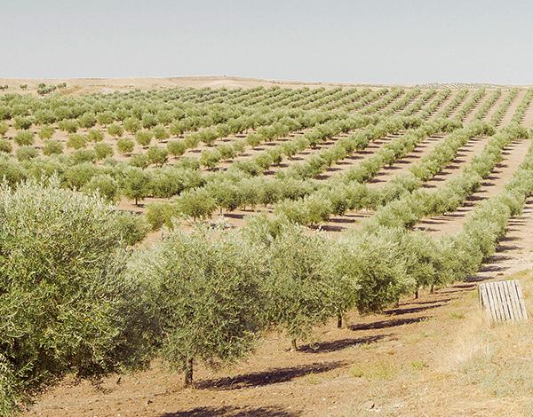 La finca olivar